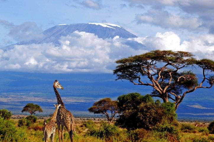 Kilimanjaro giraffe lrg